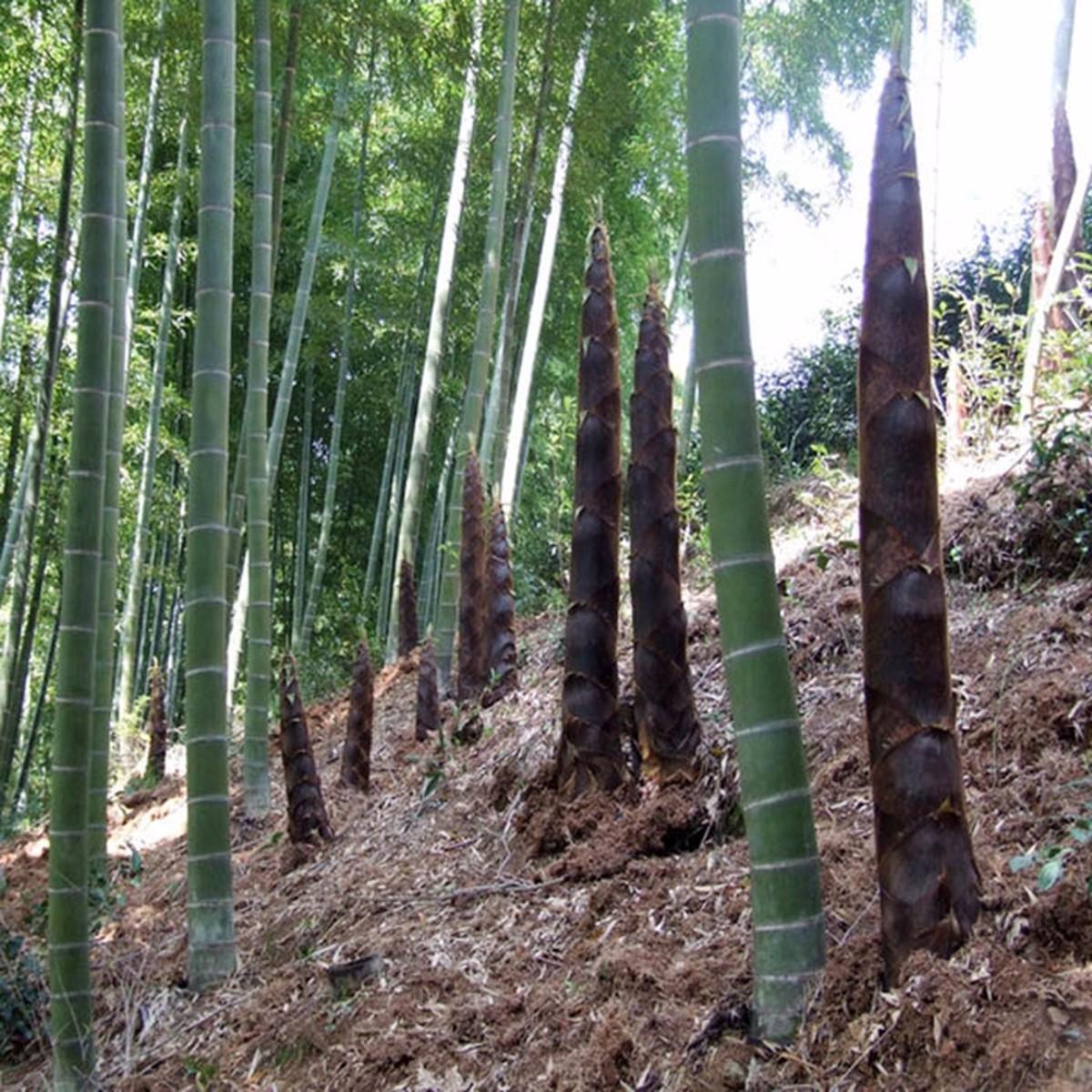 Tempsa 100pcs graine de bambou pubescens plantes jardin for Graine de jardin