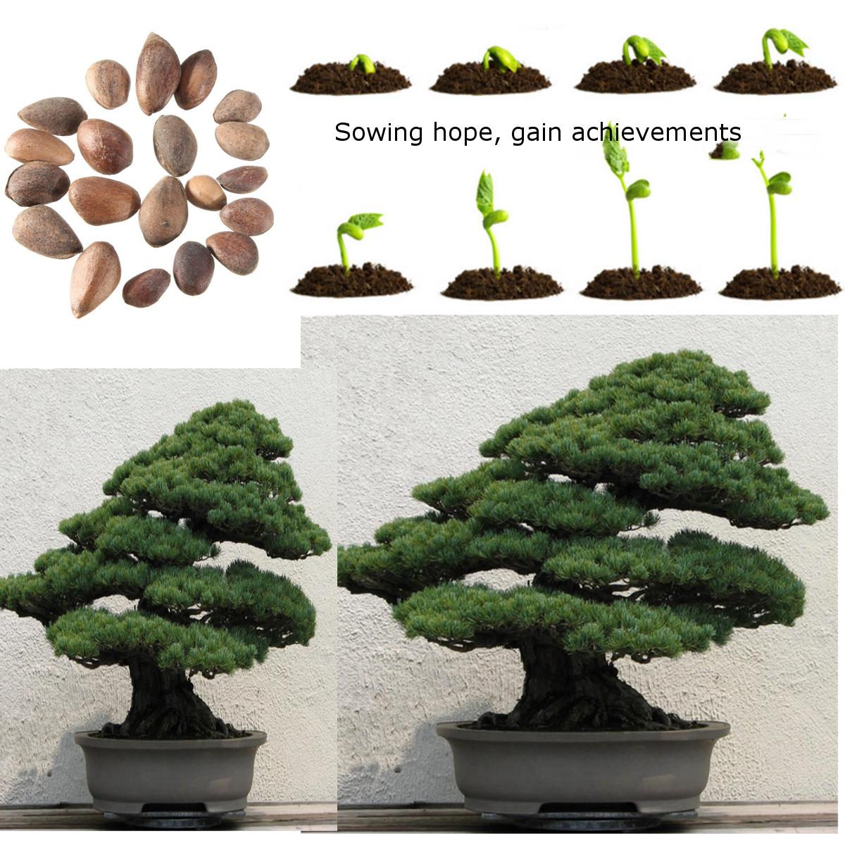 20pcs graines de japonaise pin blanc bonsa abre plante for Plante japonaise pour jardin